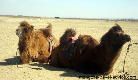 Gobi Desert Camels