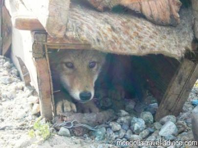 mongolia photos wolf pup