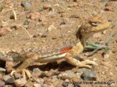 Gobi Desert lizard