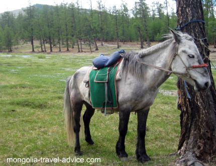 Mongolia horse trek old horse