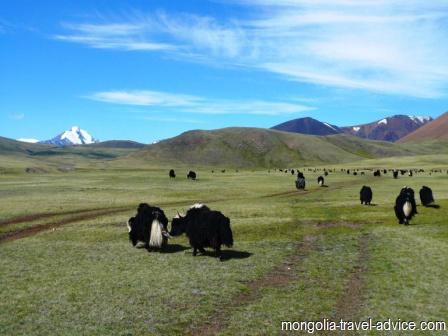 yaks in mongolia tavan bogd national park